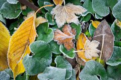Autumn, fallen yellow leaves with hoarfrost.  Stock Photo