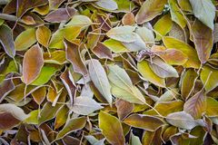 Autumn, fallen yellow leaves with hoarfrost.  Stock Image