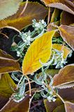 Autumn, fallen yellow leaves with hoarfrost.  Royalty Free Stock Images