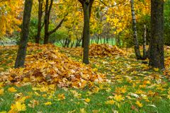 Autumn fallen yellow maple leaves collected in a pile under a tree. Autumn city park. fallen yellow maple leaves collected in a neat pile under a tree on a lawn royalty free stock images