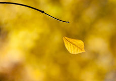 Autumn falling leaf in a forest Stock Photo