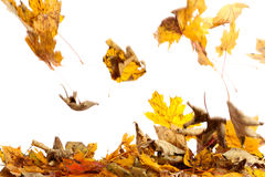 Autumn by falling leaves. Studio photography of falling leaves stock photo