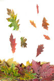 Autumn falling leaves isolated on Royalty Free Stock Image