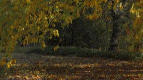 Autumn falling leaves. In the park autumn fall foliage stock footage