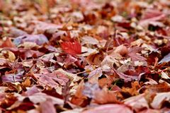 Autumn Falling Maple Leaves stock afbeeldingen