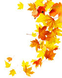 Autumn falling maple leaves stock image