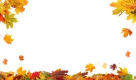Autumn falling maple leaves on white background royalty free stock image