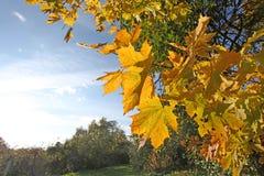 Autumn falls maple Stock Photos