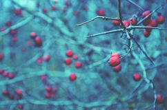 Close up of red berry of hawthorn growing in autumn garden on a cold blue blurred background stock image