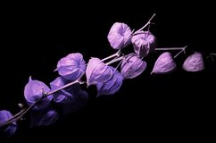 Autumn fantasy... Purple decorative lantern Physalis Stock Image