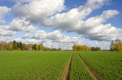 Autumn farm field with green cereal crop and tractor traces Royalty Free Stock Photos