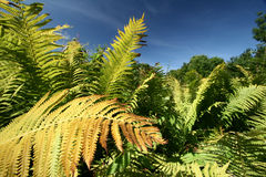Autumn fern. Autumn leaves royalty free stock images