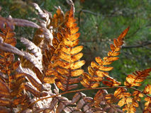 Autumn fern details Stock Images