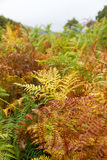 Autumn Fern Stock Image