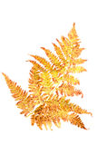 Autumn fern Leaf Royalty Free Stock Photos