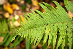 Autumn fern leaf in the forest Royalty Free Stock Image