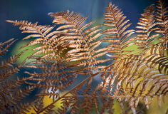 Autumn fern leaves Royalty Free Stock Images