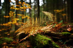 Autumn fern leaves in the forest Royalty Free Stock Image