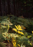 Autumn ferns. And forested landscape Royalty Free Stock Photo