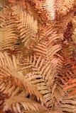 Autumn Ferns Foto de archivo