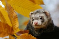 Autumn ferret portrait Royalty Free Stock Image