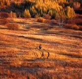 Autumn field. A golden autumn field,it is named bashang Stock Photos