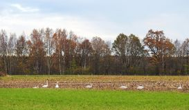 Autumn field and birds, Lithuania Royalty Free Stock Image