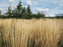 Autumn  field of dry grass and far forest Royalty Free Stock Image