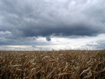 Autumn. Field dry maize. Above the corn field begins thunderstorm, strong wind waves of oppression and breaks the dry corn Stock Image