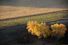 Autumn field with golden birch trees Royalty Free Stock Image