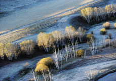 Autumn field with golden birch trees Stock Images