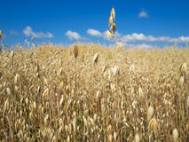 Autumn field of golden oats Royalty Free Stock Image
