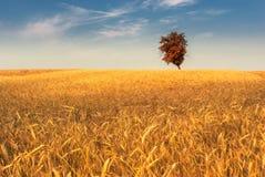 Autumn field. Lonely tree on autumn wheatfield Stock Images