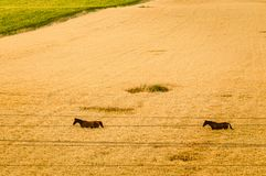 Autumn field with horses and electric wires royalty free stock photography