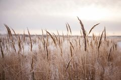 Photo of wild wheat spikelets in field. Royalty Free Stock Photography