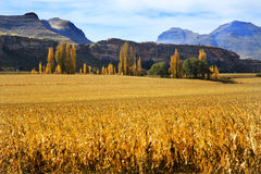 Autumn fields with trees and mountains. Autumn landscape with maize fields, poplar trees and mountains royalty free stock photos