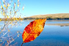 Autumn, fiery red leaf on the background of the river landscape royalty free stock image