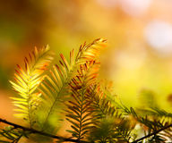 Autumn fir branch in the sunlight Royalty Free Stock Photos