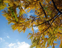 Autumn fir branches Royalty Free Stock Photos