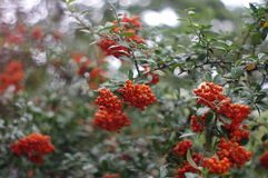 Rowan Berries Stock Photo