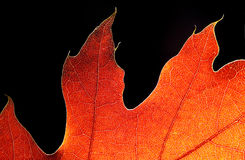 Autumn fire. Red autumn leaf on a black background Stock Photos