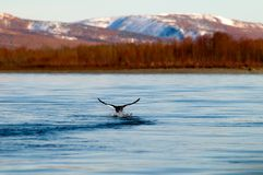 Autumn flight. Departing duck against the autumn mountains Royalty Free Stock Photo