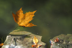 Autumn. Floating fallen leaf in the pond Stock Photo