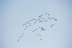 Autumn. A flock of geese in the sky. Stock Photos