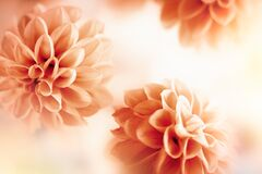 Free Autumn Floral Composition Made Of Fresh Dahlia On Light Pastel Background. Festive Flower Concept With Copy Space Royalty Free Stock Photography - 193325017