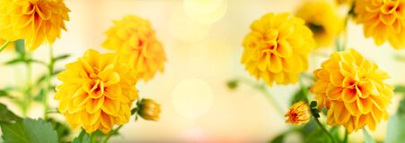 Free Autumn Floral Composition Made Of Fresh Yellow Dahlia On Light Pastel Background. Festive Flower Concept With Copy Space Royalty Free Stock Photo - 191721135