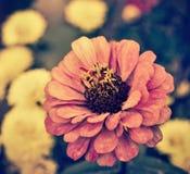 Autumn flower Royalty Free Stock Photos