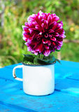Autumn Flower - Dahlia Aster Family  in a Metal Cup on Old Blue Wooden Background. In the Garden Stock Photo