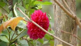 Autumn Flower Dahlia rojo almacen de video