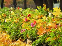 Autumn flower and leaves. Lane of shrubbery of dahlias whith yellow leaves of maple Royalty Free Stock Image